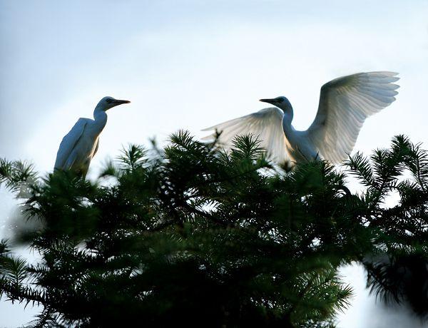 枝头白鹭飞