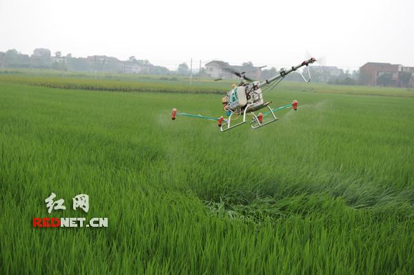 无人直升机正对稻田喷洒农药,作业面积每小时可达80——100亩。