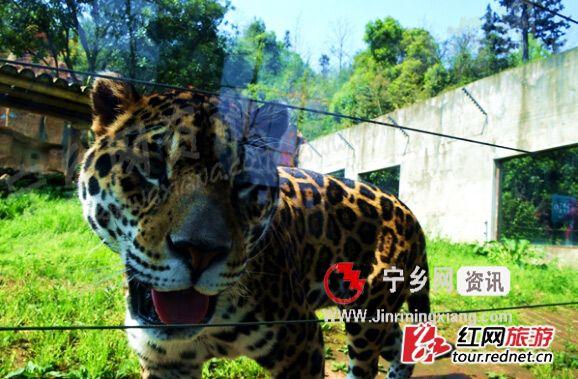 夏令营期间,参与者们将在动物园露营,与虎豹为伴。