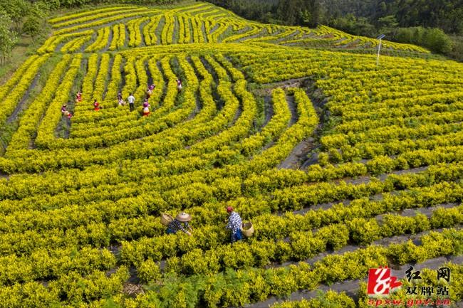 壮丽70年·奋斗新时代|凝聚共识 整合力量 振兴野生茶产业