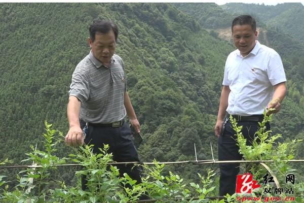 唐冬华调研中国竞彩网:上梧江瑶族乡潘家漯村藤茶种植基地